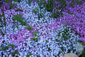Flowers of creeping Phlox, carpeted, styloid, ground cover,