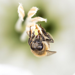 bee on a white flower. close-up
