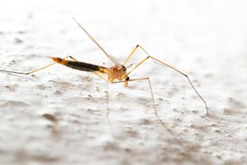 mosquito. macro