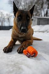 Police dog training.