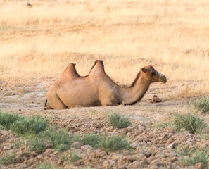 camel in nature