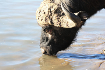 African Buffalo is drinking water. Head of a bull with horns,