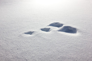 Impronte di lepre in montagna su neve