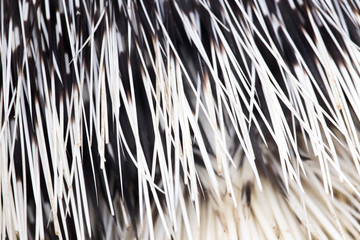 porcupine quills as a background