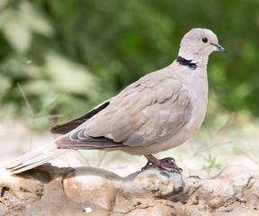 portrait of pigeon on nature