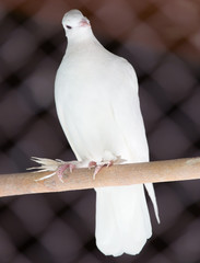 portrait of a white dove on the nature