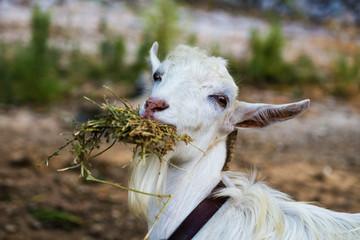 Завтрак для козы