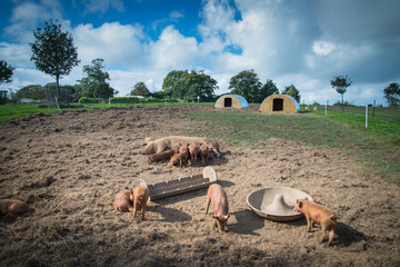 Farm with pigs and sky background