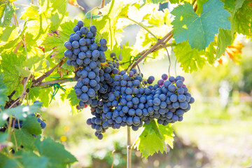 Organic grape rankes in Tuscany