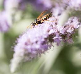 wasp on nature. macro