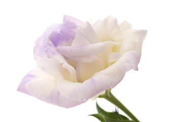 variegated eustoma flower isolated on white