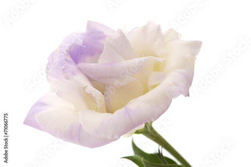 canvas print picture variegated eustoma flower isolated on white