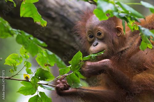 Deurstickers Aap Borneo Orangutan