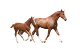 Chestnut horse and its cute foal running fast