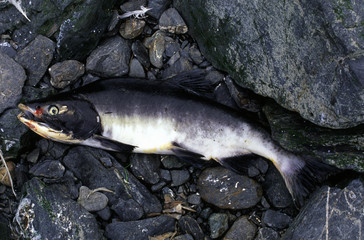 Capture salmon at the beach.