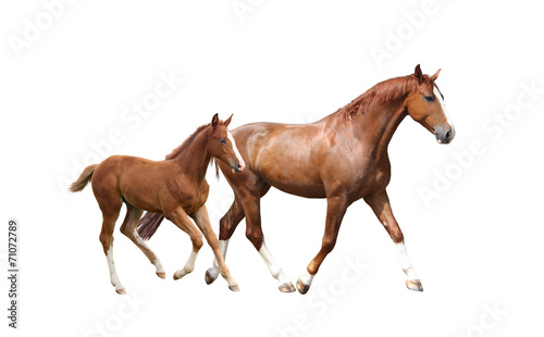 Chestnut horse and its cute foal running fast - 71072789