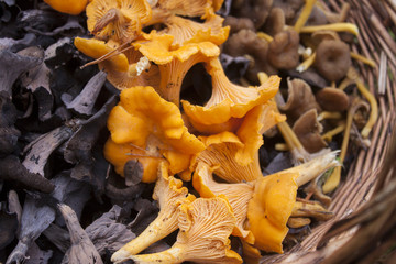 Black, ordinary and funnel chantarelle