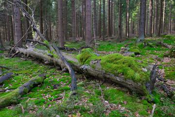 toter Baum mit Moos Buche