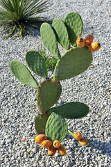 Cactus with juicy fruits