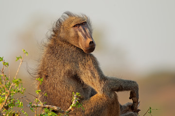 Chacma baboon, Kruger National Park