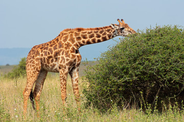 Masai giraffe feeding on a tree
