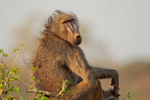 Foto op Canvas Aap Chacma baboon, Kruger National Park
