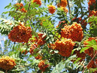 Rowanberries and sunny sky