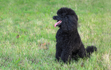Pet poodle dog sitting at grass in nature