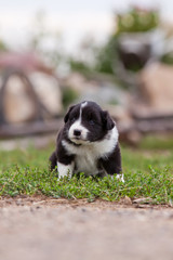 Border Collie puppy playing outside on the farm