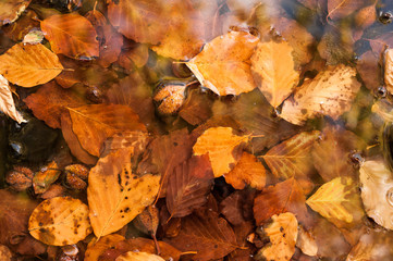 autumn leaves in water background