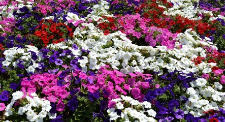 Multiple petunias and green leaves