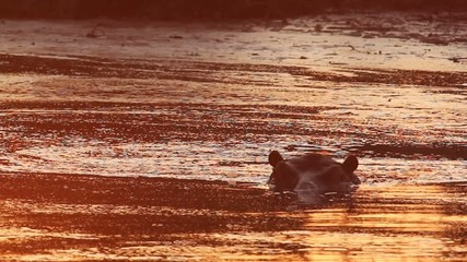 A wild Hippo submerged in a flowing river in the afternoon