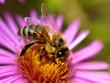 canvas print picture - Biene auf Astern