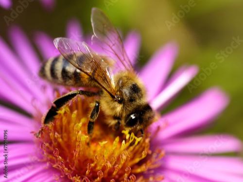 canvas print picture Biene auf Astern