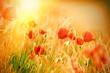Beautiful poppy flowers in meadow lit by sunlight