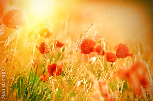 Foto op Canvas Poppy Beautiful poppy flowers in meadow lit by sunlight