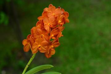 Orange Orchid flowers look fresh.