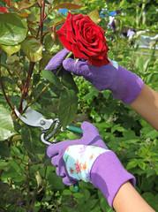 cueillette d'une rose