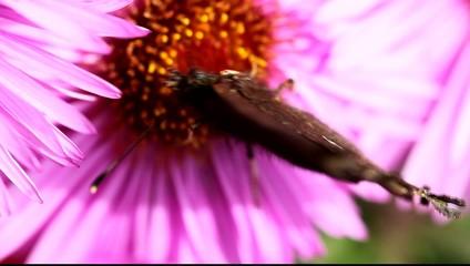 Butterfly on Michaelmas daisy.