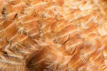 Hen feathers detail