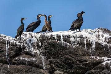 Cormorants birds on rock
