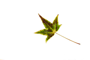 green-yellow autumnal leaf isolated