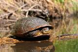 Blandings Turtle Basking Illinois