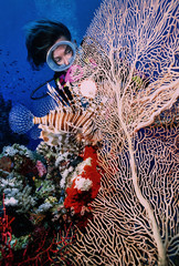 SUDAN, Red Sea, diver and a Scorpion fish