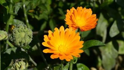 Ringelblumen, Heilpflanze