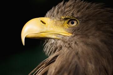 Orel mořský,.Haliaeetus albicilla,.White-tailed Eagle,.Seeadler