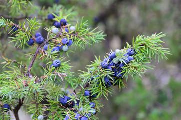 junipper berries