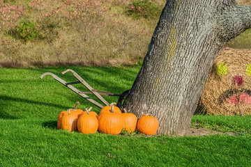 Pumpkins Beside Tree and Old Hand Tiller
