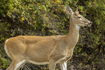 Closeup of white tailed deer.