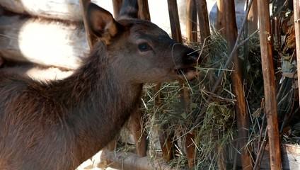 a young deer eats grass